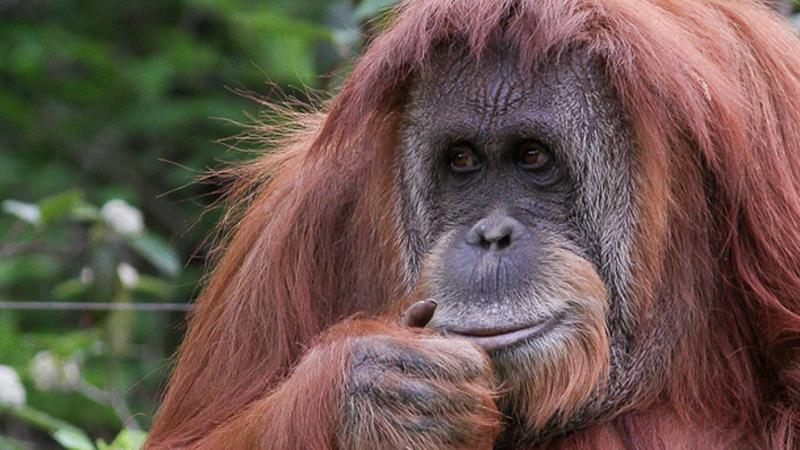 Es inminente el traslado de la orangutana Sandra
